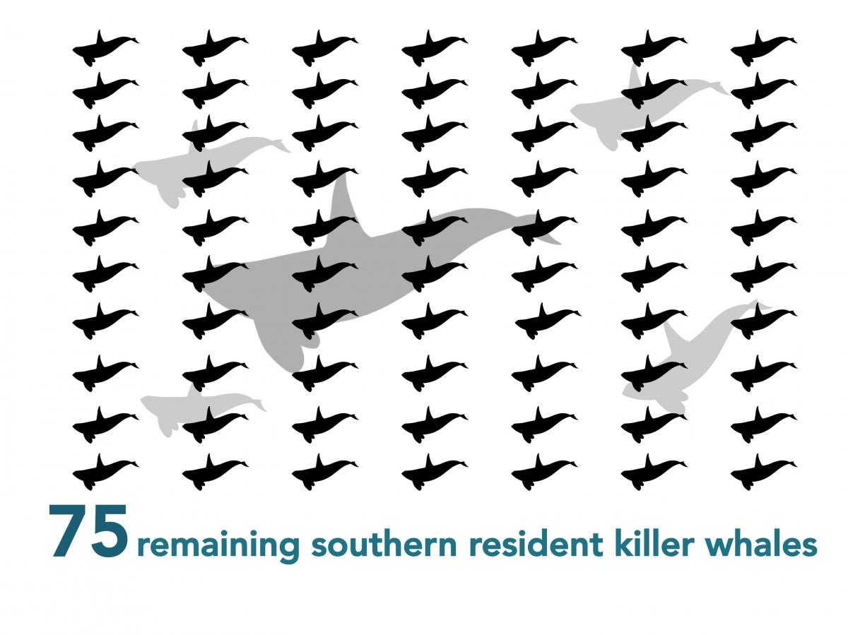 Only 75 Southern resident killer whales remain - Take the survey to protect them